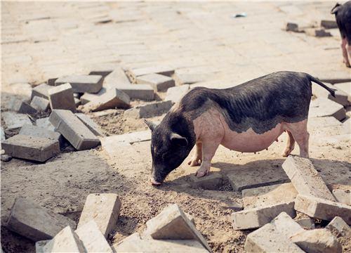 2019年农村养猪补贴政策:按照500头以上分4个等级的规模进行补贴!